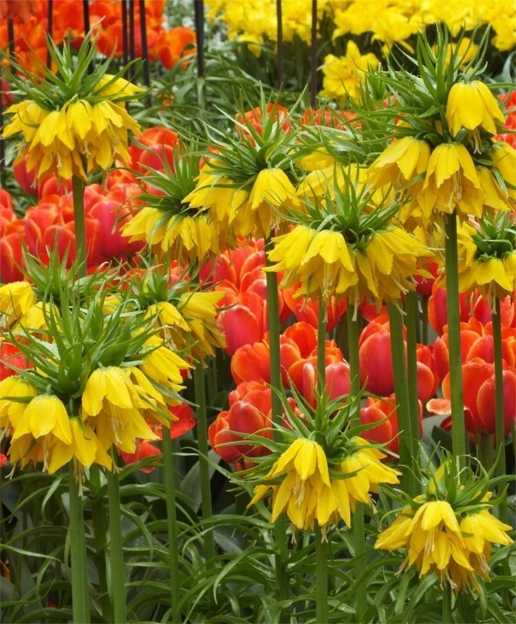 Цветы садовые рябчик